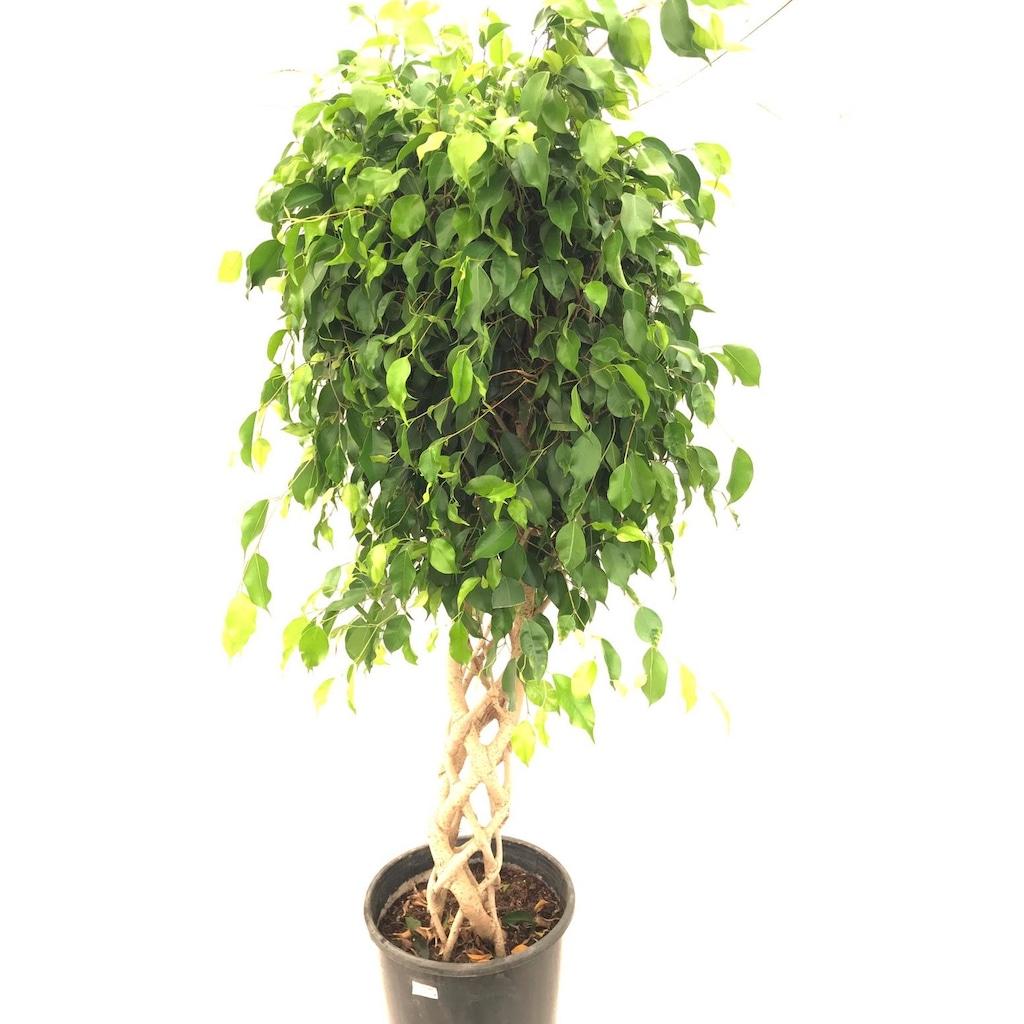 Ficus Benjamin Kafesli 155 160 Cm Fiyatlari Ve Ozellikleri
