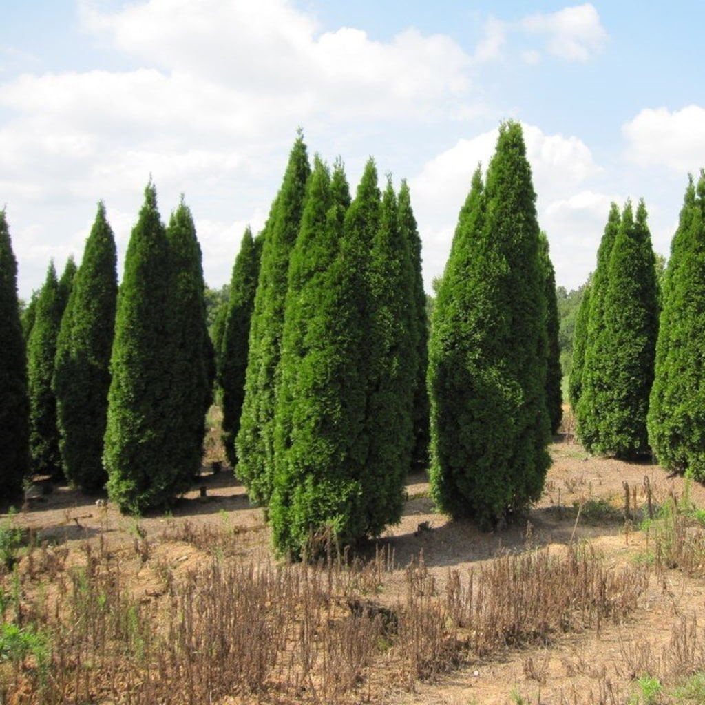 Emerald green arborvitae facts and care