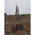 03838079 - Açık Köklü Chandler Ceviz Fidanı - n11pro.com