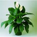 74709084 - Berceste Peyzaj Barış Çiçeği Spathiphyllum 40-50 CM - n11pro.com