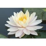 5 Adet Lotus (Nilüfer)ÇiçeğiTohumu (Mavi&Beyaz)