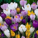 Hollanda'dan İTHAL - Çiğdem (Crocus) Çiçeği Tohumu (25 Tohum)