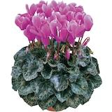 Hollanda'dan İTHAL - Sıklemen (Cyclamen) Çiçeği Tohumu ( 25 Tohum