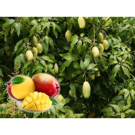 93412f1f6280b Fidanistanbul Mango Fidanı 60 - 80 Cm, Tüplü - n11.com