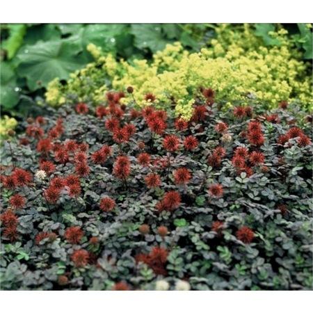 Acaena Microphylla Kupferteppich Kırmızı Yeni Zelanda Koyun çap