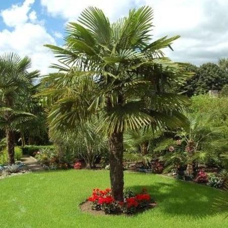 palmiye ağacı ile ilgili görsel sonucu