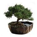 Bonsai Ağacı Nedir ve Nasıl Yapılır