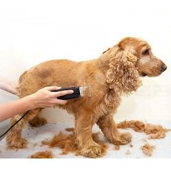 Köpek Tıraşı İle İlgili Bilmeniz Gerekenler